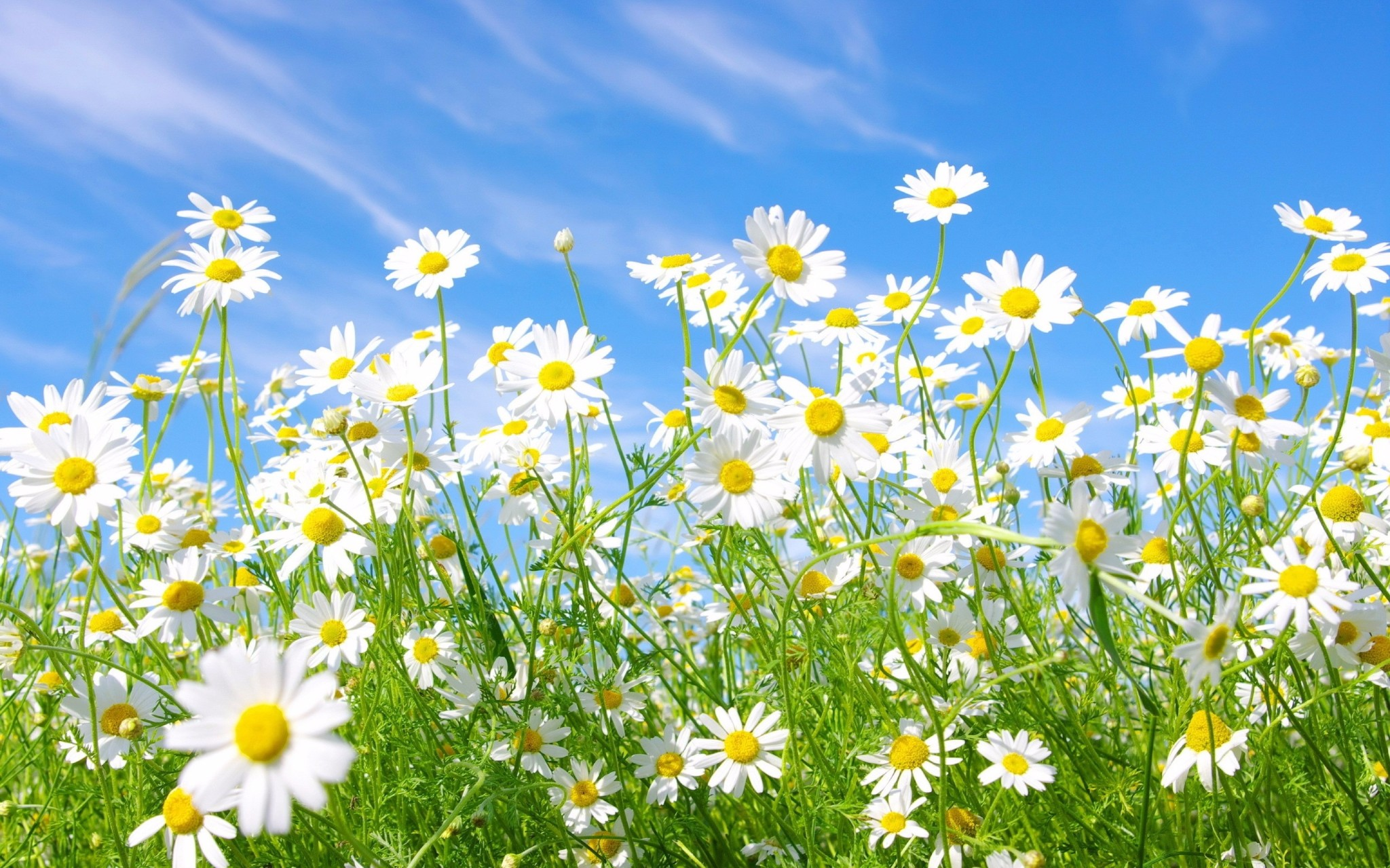 chamomile flowers widescreen wallpaper 50614 52306 hd wallpapers
